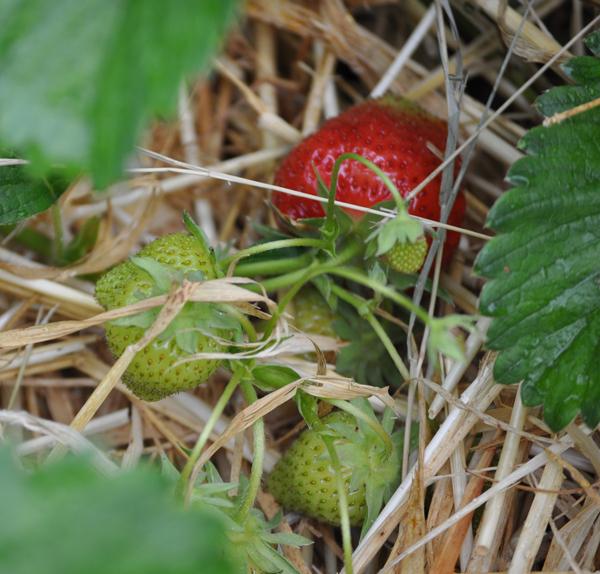 432strawberries