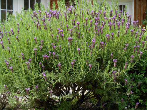 This is a big old lavender that i really should pull up, but it still puts on a good show and, once flush with new foliage, continues to look good.