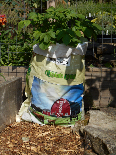 Left over seed potatoes were planted up in chicken feed bags in which i cut small drainage holes.  Growing great so far.