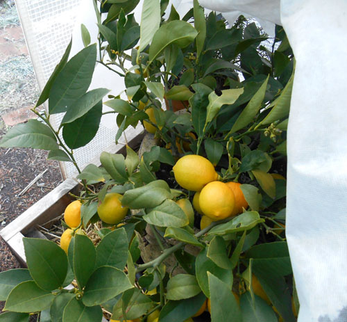 Lemons under fleece in the cold greenhouse.