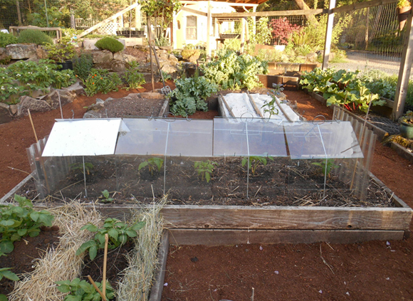 These tomatoes will very quickly outgrow their barn cloches.