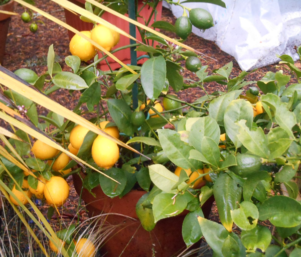 meyer lemon shrub